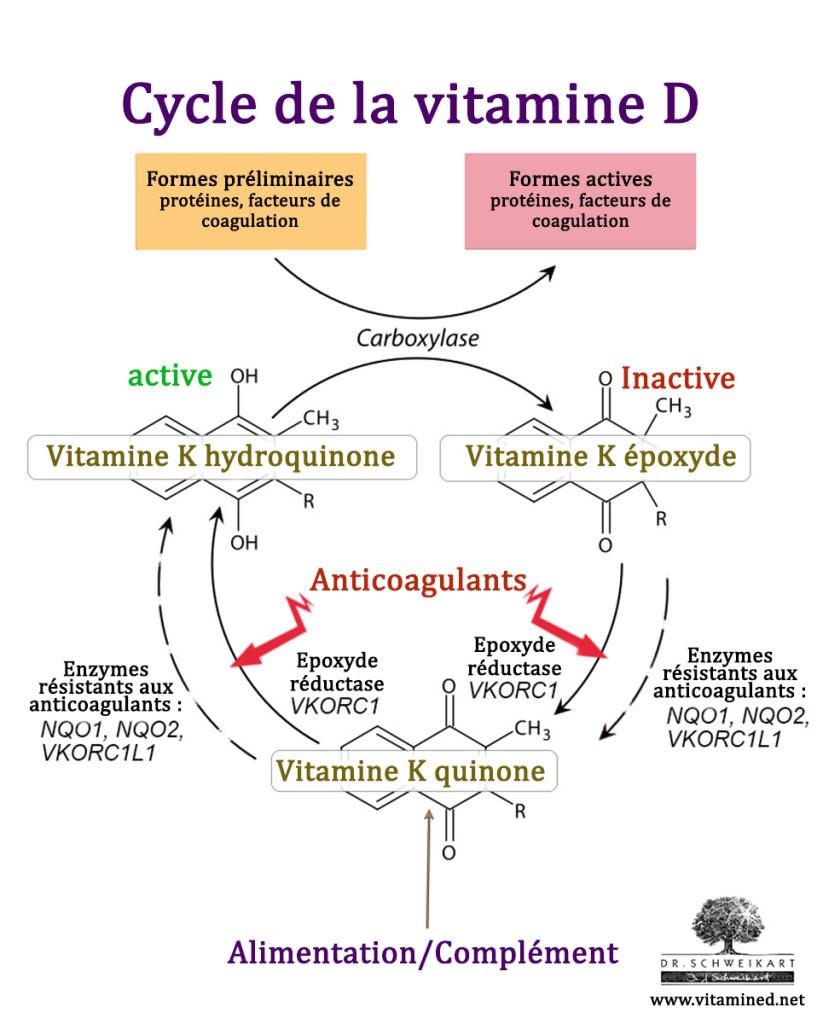 vitamine-k-cycle-1